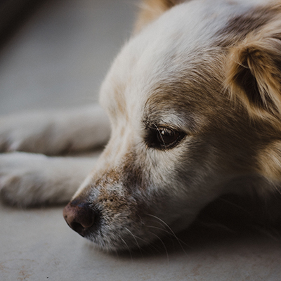 Nervous dog lying down