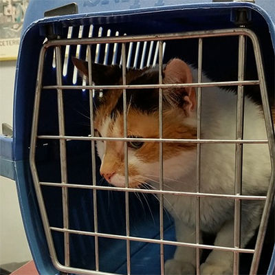 A calico cat in a carrier