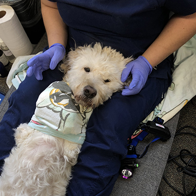 Charlie the goldendoodle is bundled in a towel and ready to have his teeth cleaned.