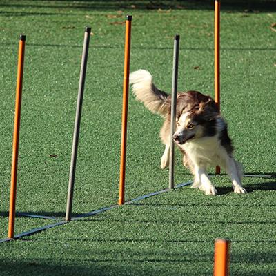 A dog runs through an agility course